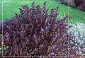 Weigela foliage in garden.jpg