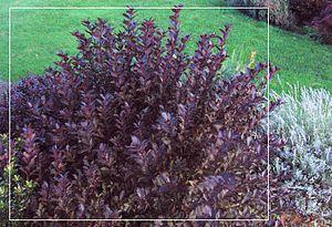 Weigela - Image: Weigela foliage in garden