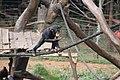 West African Chimpanzee.jpg