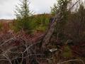 Wet Winter Brambles in the Okanagan Highlands.png