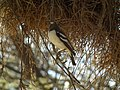 White-browed Sparrow-weaver Plocepasser mahali in Tanzania 1677 Nevit.jpg