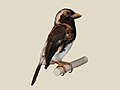 White-eared Barbet RWD2.jpg