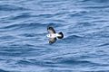 White-faced Storm-petrel 1394319478.jpg