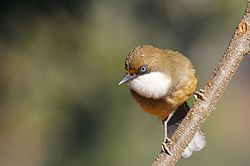 White-throated Laughingthrush.JPG
