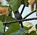 White-winged Becard male Pachyrhamphus polychopterus (42051886025).jpg