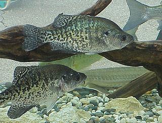 White crappie Species of fish