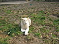 White Lion in Belgrade zoo.jpg
