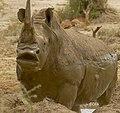 White Rhino (Ceratotherium simum) making a face ... (46443114005).jpg