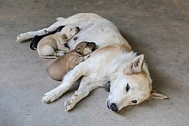 White dog sleeping on the floor with puppies after nursing in Don Det Laos.jpg