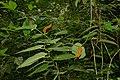 Wild Pepper (Piperaceae) (22846471503).jpg
