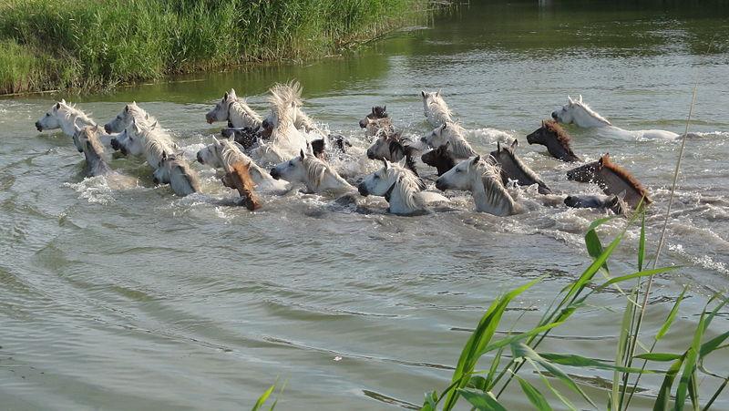 File:Wild horses in Camargue.JPG