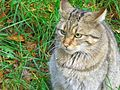 кавказская лесная кошка картинки. кавказская лесная кошка картинки 2.