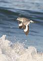 Willet, Tringa semipalmata, Moss Landing and Monterey area, California, USA. (30803406002).jpg