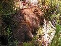 Wombat Tasmania.jpg