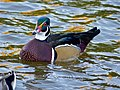 Wood Duck (Aix sponsa) (10930036393).jpg
