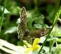 Woodland Brown. Lopinga achine. (16010199170).jpg