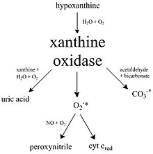 A diagram illustrating many of the pathways catalyzed by xanthine oxidase.