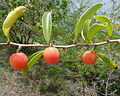 Ximenia caffra 1 (11549047166).jpg