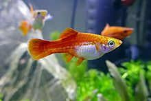 Xiphophorus hellerii red female 01.jpg