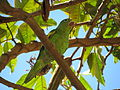 Yellow-chevroned Parakeet 2 BH Zoo.jpg