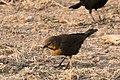 Yellow-headed Blackbird (female) Estero Llano SP Mission TX 2018-03-14 07-08-26 (40813069331).jpg