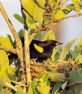 Yellow-shouldered Blackbird.jpg