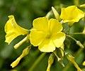 Yellow (6952156581).jpg