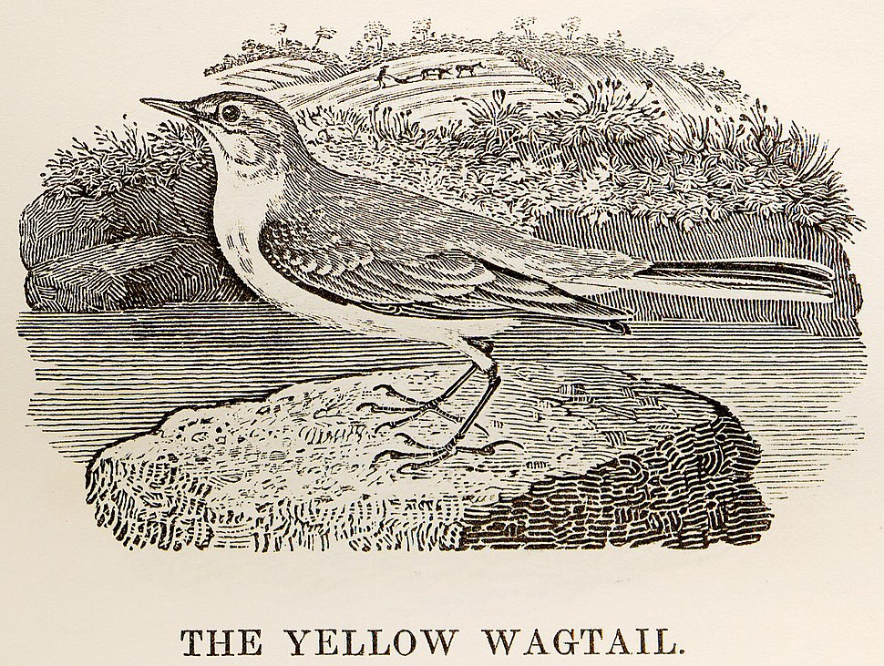 Yellow Wagtail woodcut in Bewick British Birds 1797