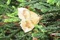 Yellow shell (BG) (16176011862).jpg