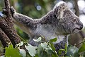 Young Koala looking for a leaf-2 (8630291829).jpg