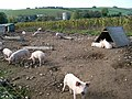 Young pigs at Stevens Farm, Martinstown - geograph.org.uk - 593012.jpg