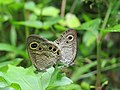 Ypthima huebneri – Common Four-ring mating 05.jpg