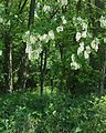 Zamcisko les 2.jpg