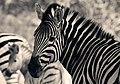 Zebra (6141801198).jpg