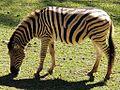 Zebra Listrada de Beje - panoramio.jpg