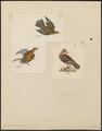 Zenaida amabilis - 1700-1880 - Print - Iconographia Zoologica - Special Collections University of Amsterdam - UBA01 IZ15600447.tif