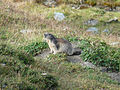 Zinal-Sorebois-Marmotte.jpg