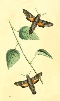 Zoological Illustrations Volume I Plate 64.jpg
