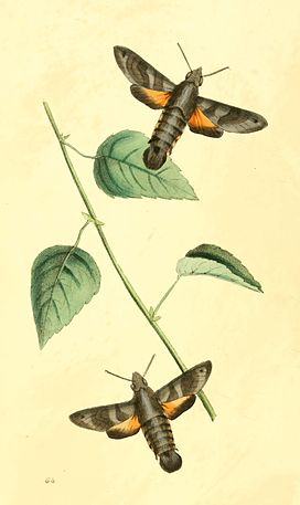 Zoological Illustrations Volume I Plate 64.jpg