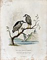 Zoological Society of London; A harpy eagle and a white-head Wellcome V0023130.jpg