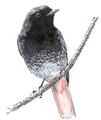 Zwarte roodstaart Phoenicurus ochruros Jos Zwarts 2.tif