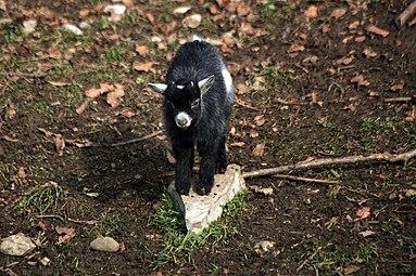 Zwergziegen Zoo Salzburg 2014 b.jpg