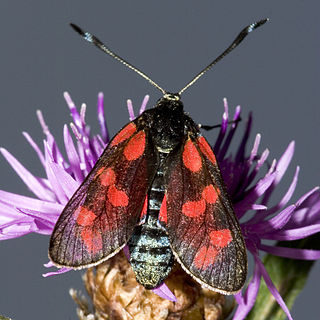Zygaenoidea