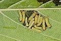 Zygaenidae (42916899212).jpg