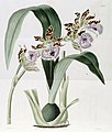 Zygopetalum maculatum or Z. mackayi (as Eulophia mackaiana) - Edwards vol 17 pl 1433 (1831).jpg