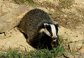 Picture of a badger