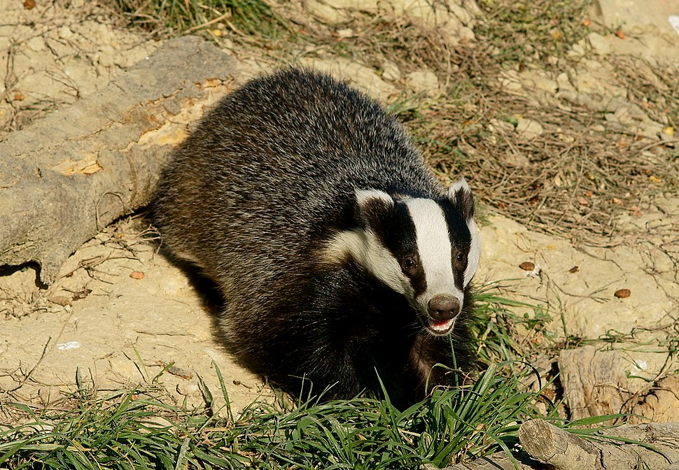 'Honey' the badger
