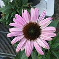 'Prairie Splendor Deep Rose' blush pink form echinacea purpurea IMG 4918-white.jpg