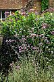 'Verbena bonariensis' in the Walled Garden at Goodnestone Park Kent England 1.jpg