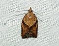 (0998) Light Brown Apple Moth (Epiphyas postvittana) (5698482271).jpg